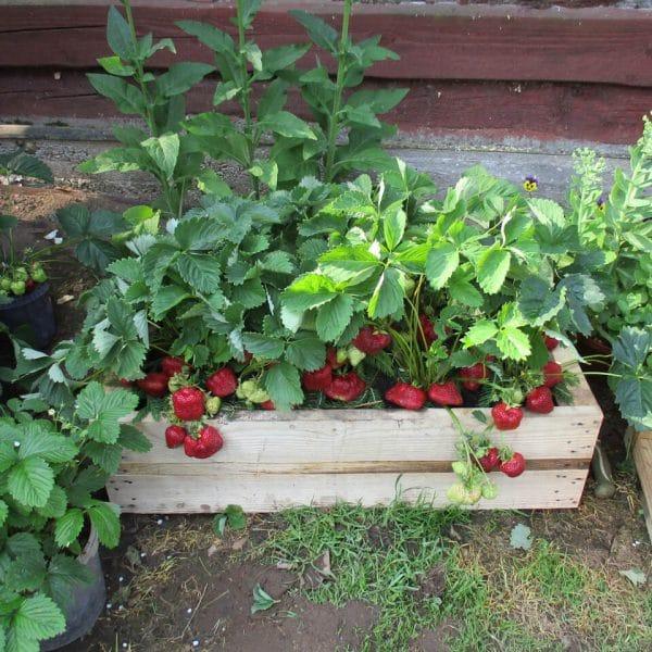 Braškių daigai - sodinukai, žemuogių krūmai